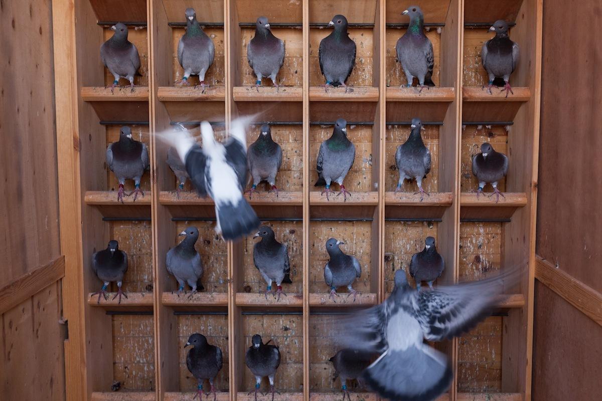 au maroc les pigeons concourent pour ne pas finir en pastilla vice sports. Black Bedroom Furniture Sets. Home Design Ideas