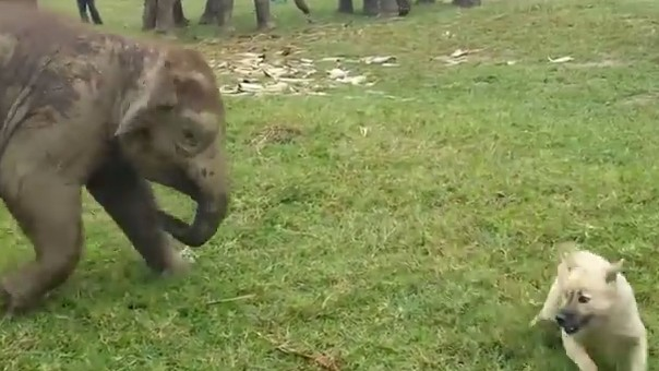 Baby Elephant Chases Dog, Is Sports
