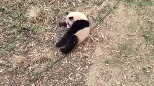 Baby Panda Becomes Sports As You Watch
