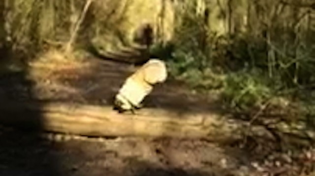 Pug Grossly Overestimates Jumping Ability, Faceplants on Log