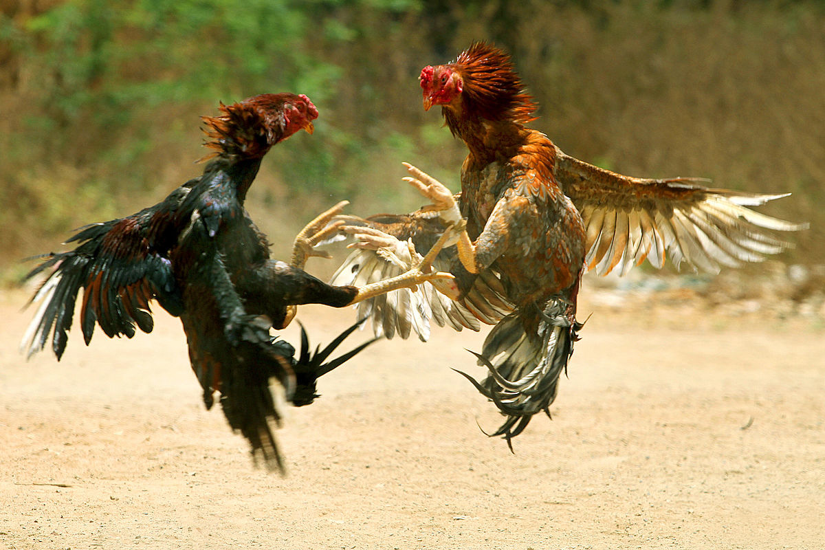 El salvidor cock fighting