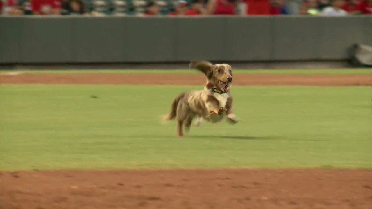 Wiener Dog Gets Loose in Baseball Stadium, Experiences True Happiness