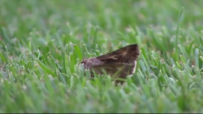 Pitch Invasion: Giant Moths at the Stade de France